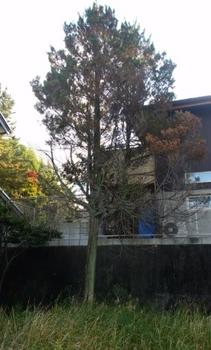 東海市で杉の木の伐採